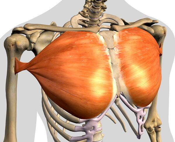 pectoralis major chest muscle mammary gland breast