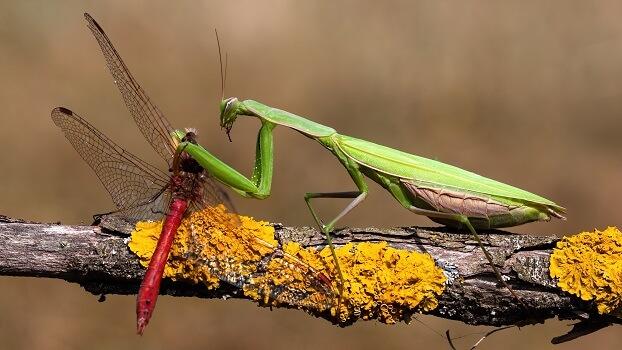 Praying mantis eating a dragonfly