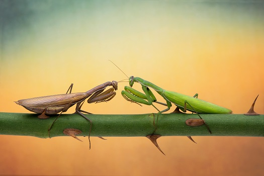 two fighting praying mantis