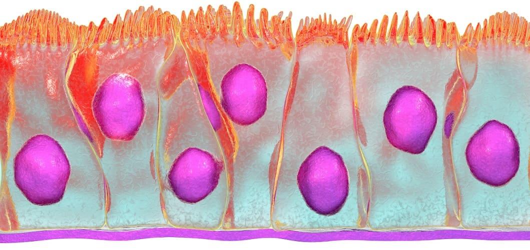 pseudostratified ciliary epithelium