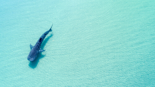 A whale shark viewed from above in shallow turquoise waters