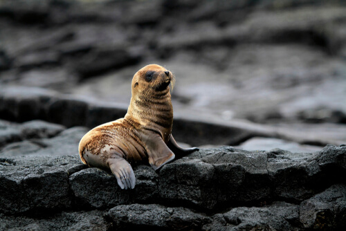A seal pup sits alone on a rock