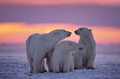 A mother polar bear and two juvenile cubs standing in front of a sunset