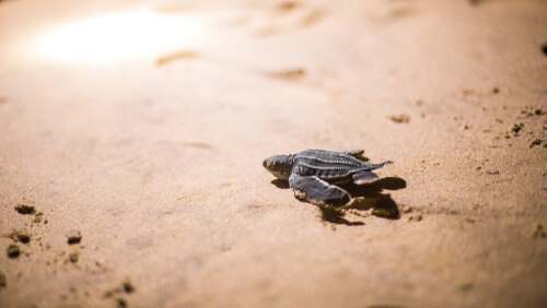 A baby leatherback turtle walking on the sand