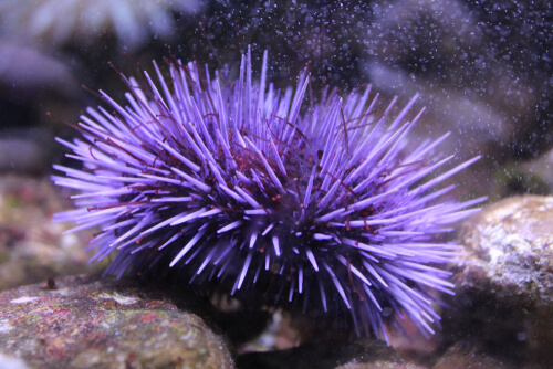 A sea urchin with purple spines on the seafloor