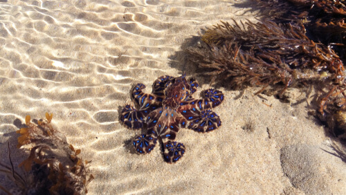 Blue Ringed Octopus with its arms spread out on the sandy sea floor