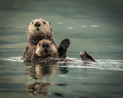 A sea otter and its young swimming together on their backs