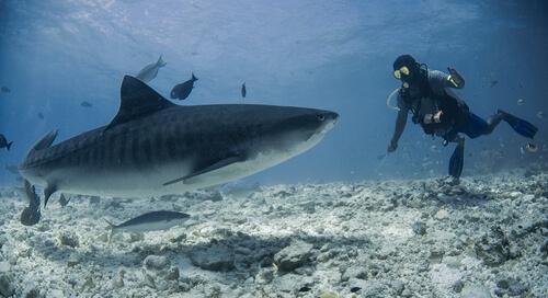 A tiger shark approaches a scuba diver near a sandy sea floor