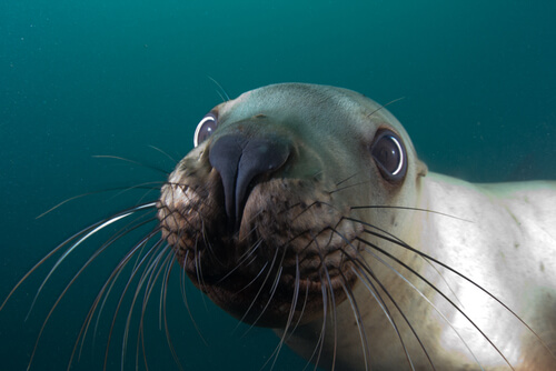 A sea lion close to the camera looks directly into the lens