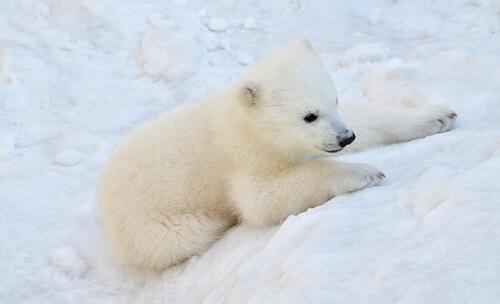 A polar bear cub clings to the snow near its den