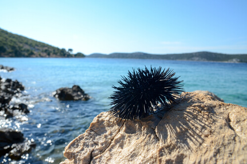 A sea urchin out of the water in the intertidal zone