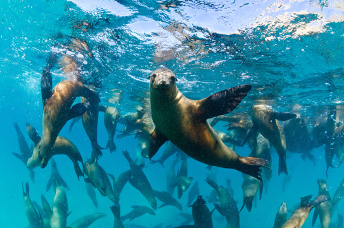 A sea lion waving at the camera with many others in the background