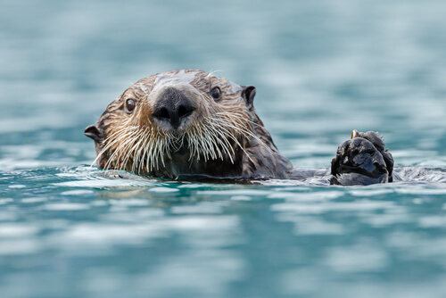 A sea otter's head above the water surface