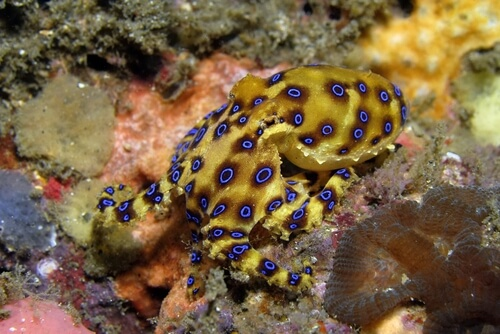 Blue ringed octopus displaying its bright yellow and blue 'warning' display