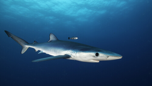 A blue shark swimming near the surface viewed from the side and slightly above