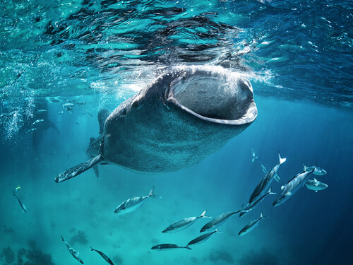 A whale shark feeding on plankton by drawing water into its mouth to be filtered