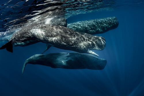 Several sperm whales gathered near the ocean's surface