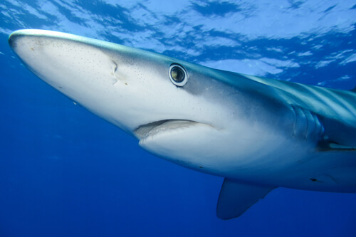 The face of a blue shark viewed from below