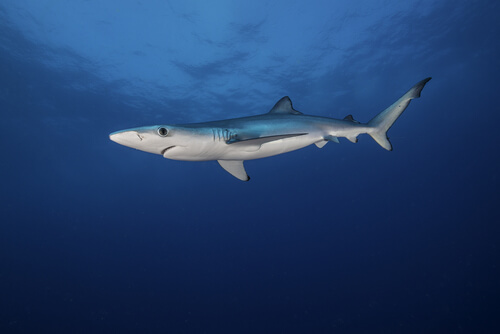A blue shark suspended in the water column viewed from the side and below
