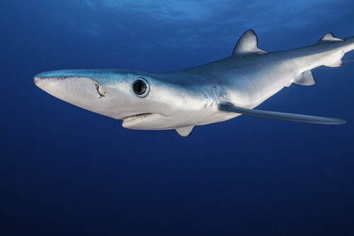 A blue shark swimming