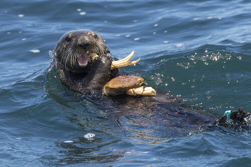 A sea otter swimming on its back eating a crab