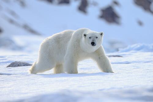 A polar bear wading through its snowy environment