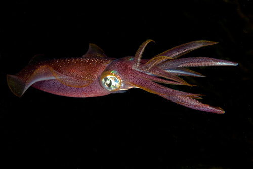 A smaller squid species against a black background