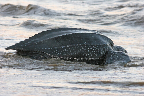 A leatherback sea turtle re-entering the water