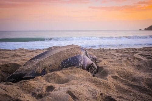 A leatherback sea turtle preparing a nest on the beach