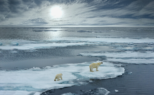 Two polar bears walking on a piece of sea ice amidst the arctic ocean