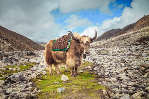 A saddled yak stands alone in a rocky meadow