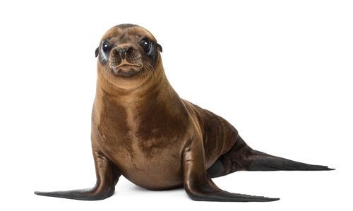 A young sea lion isolated against a white background
