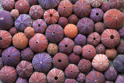 Dozens of urchin tests grouped together viewed from above