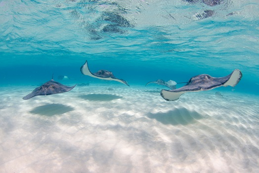 Three stingrays gliding in shallow water over sand