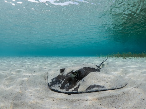 A ray burying itself in the sand