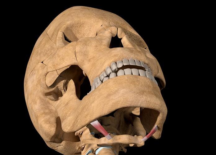 stylohyoid muscle hyoid bone mandible tongue