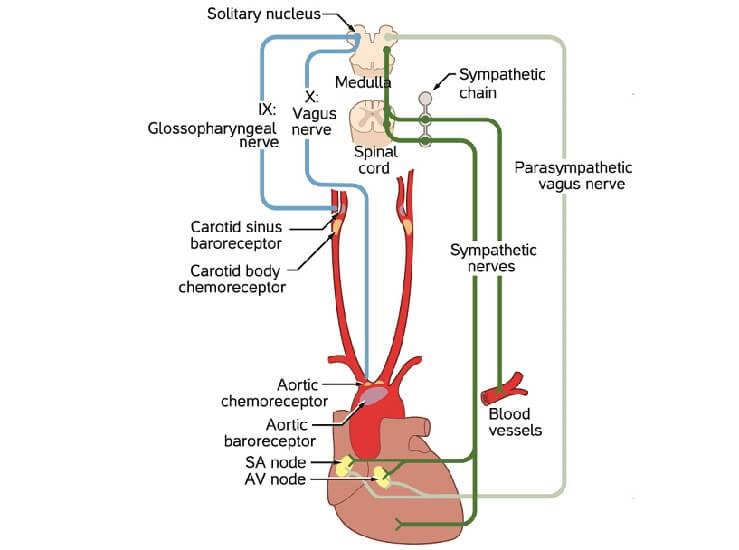 vagus nerve cn X vagal reaction vlasalva maneuver
