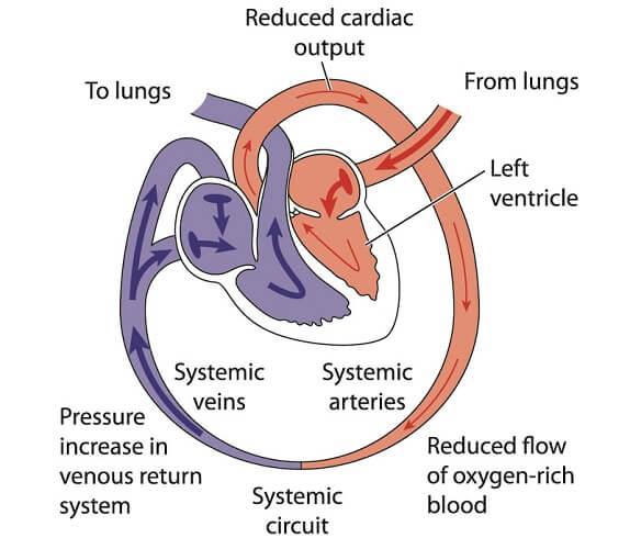 venous return blood circulation anatomy