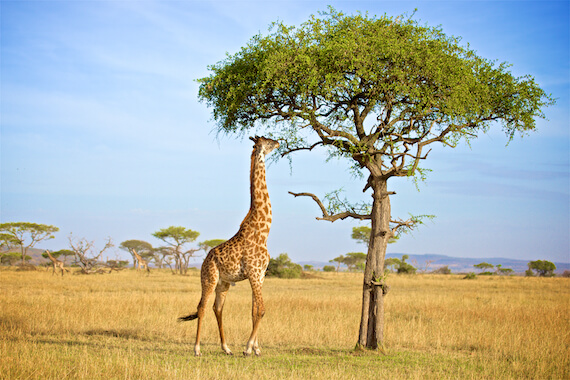 A giraffe eating from a tree in the savannah.