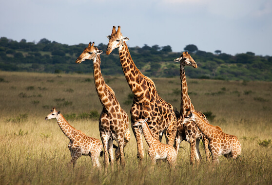 A herd of 3 adult giraffes and 3 juveniles in the savannah.