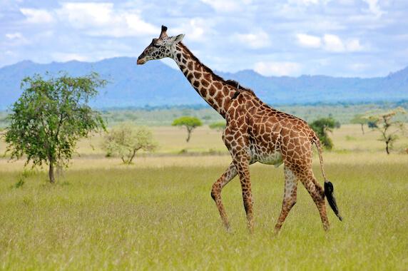 A giraffe walking through the savannah.