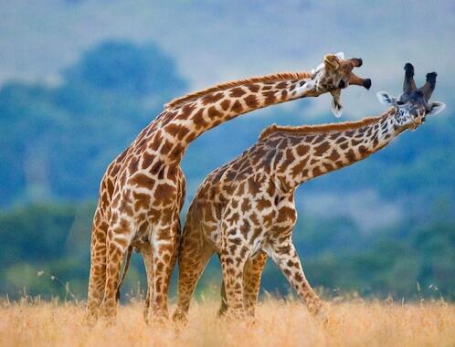 Two giraffes fighting in the savannah.