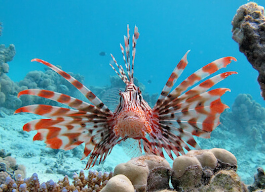 A lionfish with its fins flared amongst coral in the ocean.