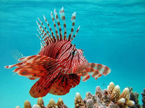 A lionfish swimming in the ocean.