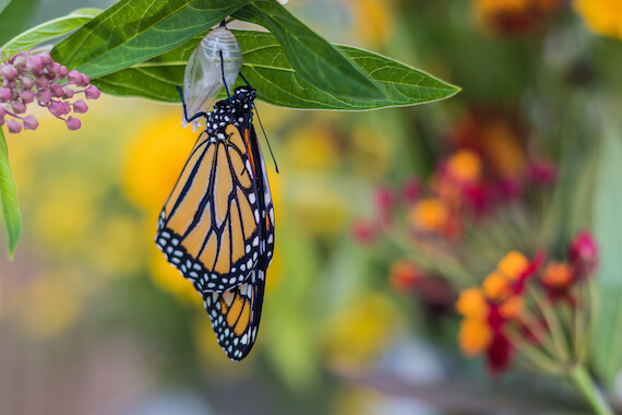 A monarch butterfly having just emerged from its chrysalis attached to a leaf.