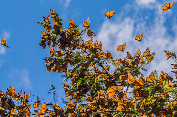 A flutter of monarch butterflies on and surrounding the branches of a fir tree.