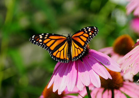 A monarch butterfly sat on a pink flower.