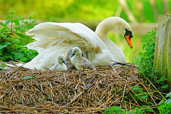 A mute swan sat on the nest with their cygnets.
