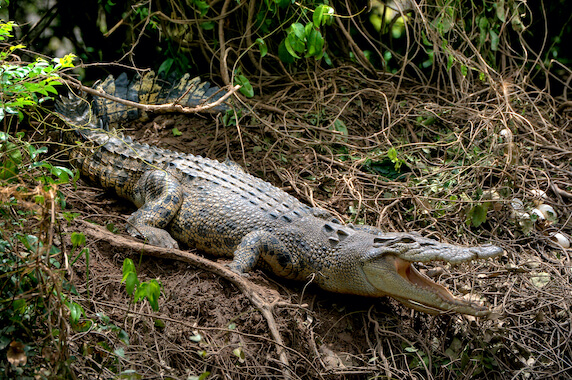 A mother crocodile guarding eggs in a nest on a bank.