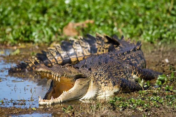 A saltwater crocodile lying on the shore of a swamp.